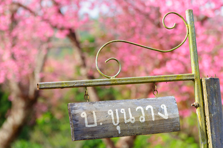 Wooden sign (name of village) with cherry blossom in background, Chiang Mai, Thailand. Stock Photo