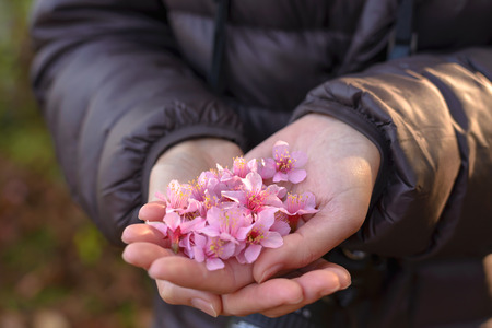 Pink Cherry blossoms in hands, focus on middle with shallow depth of field.