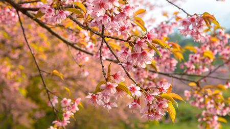 Close up branch of pink cherry blossom. Stock Photo