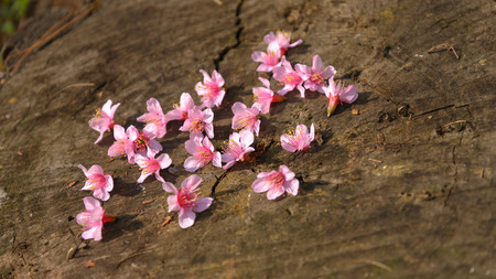 Pink Cherry blossoms on wooden background, shallow focus on middle. Stock Photo