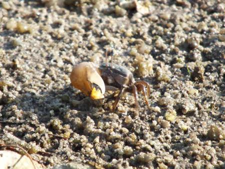 fiddler: fiddler crab