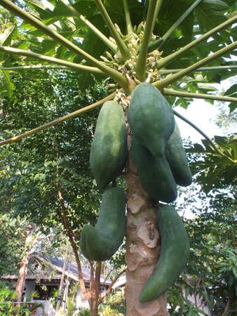 papaya flower: papaya