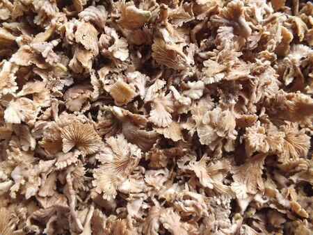 gill: split gill mushroom are food in Thailand