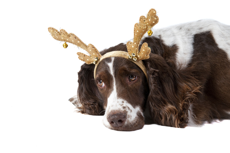 Cute Brown and white Cocker Spaniel dog wearing Christmas Holiday Reindeer Antlers looking sad and pensive isolated on white.