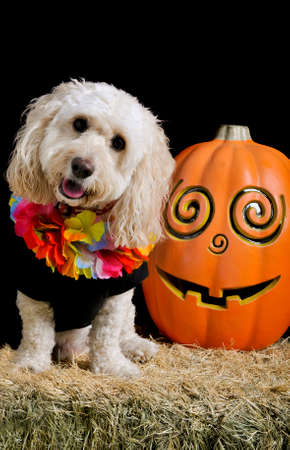 A cute white poodle mix sits on a bale of hay next to a jack-o-lantern smiling and looking at the camera wearing a halloween costume with head tilted.