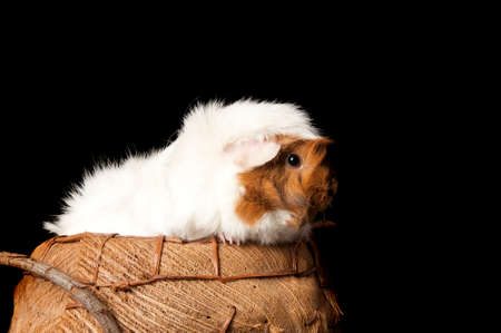 A brown and white guinea pig peeks over side of basket looking at camera isolated on black with copy space.