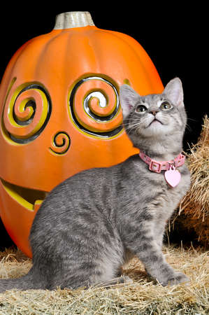Cute silver gray and white kitten sitting on a bale of hay in front of a pumpkin looking up isolated on black.