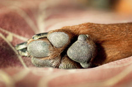 Closeup of brown dog paw and pawpads.