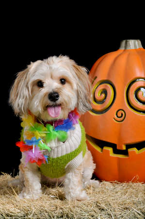 Cute small dog in halloween costume sitting next to a smiling pumpkin isolated on black looking straight at the camera. Zdjęcie Seryjne