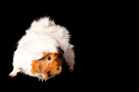 A cute brown and white guinea pig isolated on black with copy space.