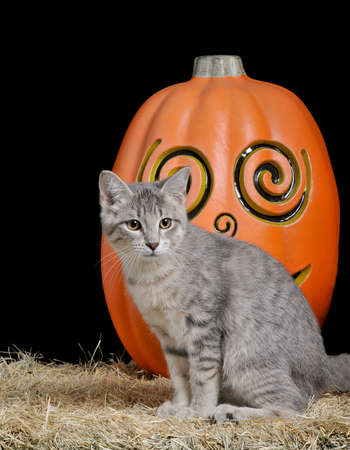 Cute silver kitten sitting on a bale of hay in front of a pumpkin isolated on black.