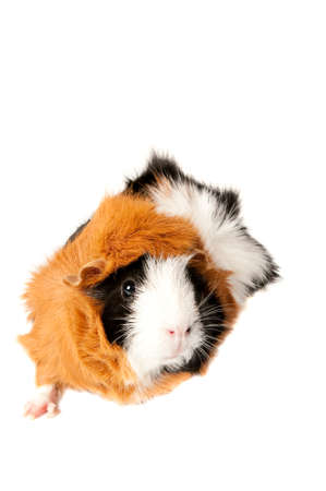 Tri-color guinea pig isolated on white looking toward camera with copy space. Stock Photo
