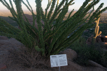 Ocotillo cactus grows among desert plants at dawn in the desert park in Scottsdale Arizona.