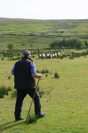 Glen Keen Farm-Northern Ireland/ May 22, 2020: Shepherd of a sheep farm in Ireland watches sheep dog as he rounds up the sheep from the hills. High quality photo