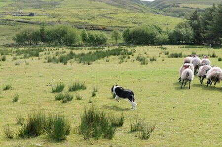 Black and white sheep dog runs behind the herd of sheep to control their movements on a sheep farm in Ireland.. High quality photo
