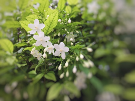 Wrightia religiosa Benth,it's beautiful white flower for the good things on Thailand