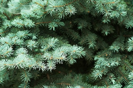 Spruce branches on green background. The blue spruce, green spruce Stock Photo