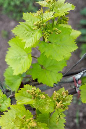 Acini giovani con nappe fiorite. Giovani germogli di uva ripresa macro in giornata di sole Archivio Fotografico