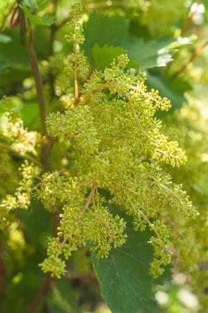 Acini giovani con nappe fiorite. Giovani germogli di uva ripresa macro in giornata di sole