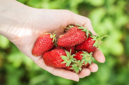 Fresh red strawberries in female hand. Beautiful bright strawberries 写真素材