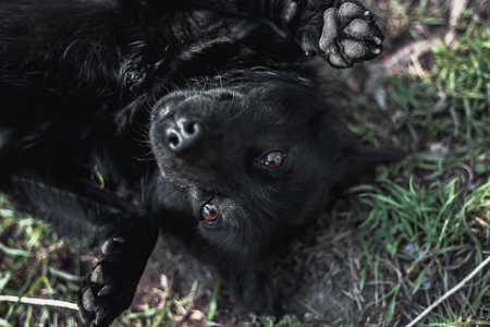 Black funny dog lying on grass. Dog lying on his back, lifting his paws