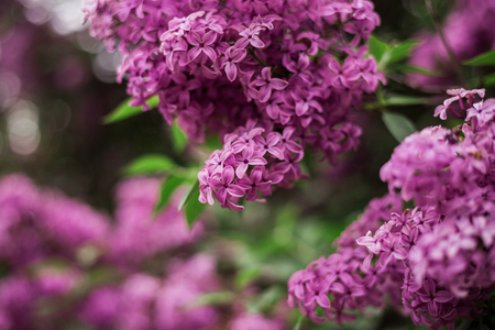 Spring branch of blossoming lilac. Blossoming purple lilac on branch. When everything is blooming