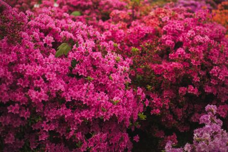 Branch of small bright flowers in foreground. Beautiful azalea on colored background Zdjęcie Seryjne
