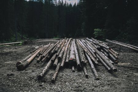 Pine wood in the forest. Felled pines ready for transport