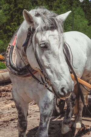 White horse with thick mane close-up. Harnessed light horse looks into camera