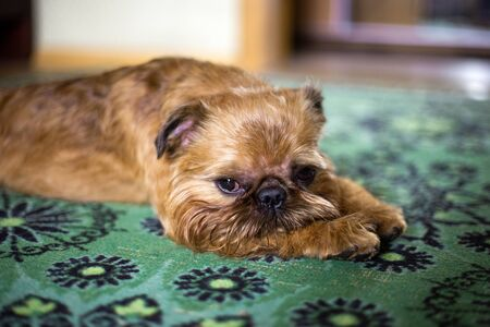 Young bright brussels griffon is looking down at the camera
