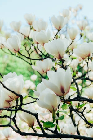 Tree of beautiful white magnolia. Vertical photo of bright magnolia. Natural spring flowers Stok Fotoğraf