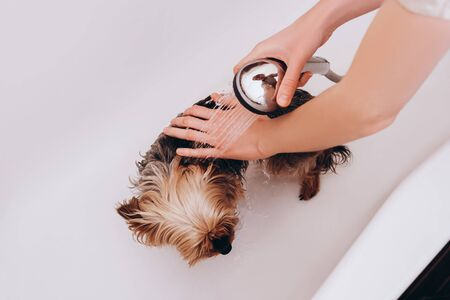 Cute lovely small Yorkshire Terrier wet in bathtub