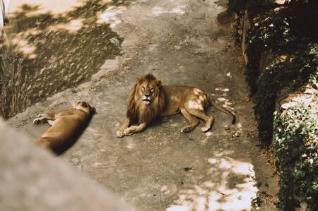 A beautiful young lion lies in a spacious aviary next to a lioness and looks at the camera