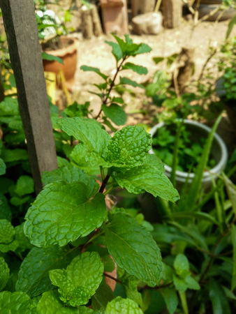 minty: Close up of fresh mints growing in the vegetable garden Stock Photo
