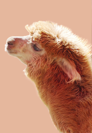 Portrait of brown alpaca on the light color background. Sweet and cute animal photo. Stock Photo