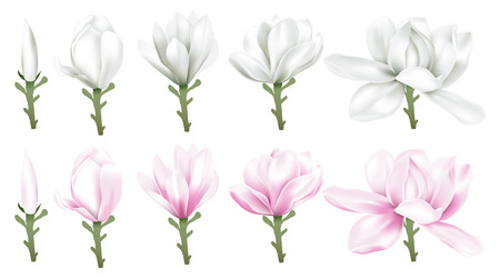 Time lapse of white and pink magnolia blossom blooming set, vector illustration.