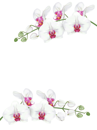 Branches of tropical orchid flower known as moth orchid or white phalaenopsis orchid blossom with pink middle on white background. Vector realistic illustrator.