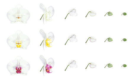 White phalaenopsis orchid, white moth orchid, color varieties. Beautiful tropical flower blossoms set on white background. Vector illustration.
