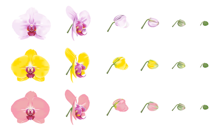 Phalaenopsis orchid, moth orchid, color varieties. Beautiful tropical flower blossoms set on white background. Vector illustration.