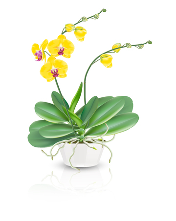 Yellow tropical orchids known as moth orchids or phalaenopsis orchids plant in a ceramic bowl vase on white background. Vector realistic illustrator.