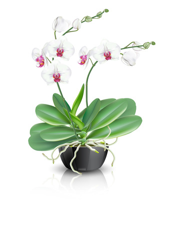 White with middle pink orchid flowers known as moth orchids or phalaenopsis orchids plant in a black ceramic bowl vase on white background. Vector illustrator of tropical flower. Stock Illustratie