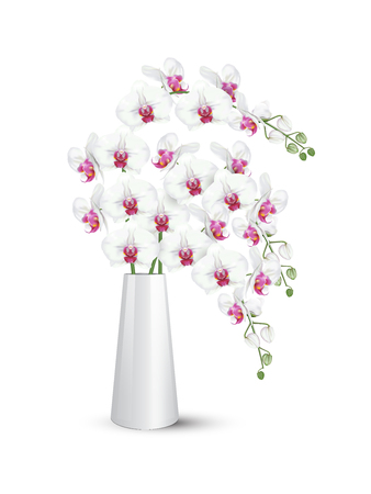 Branches of tropical orchid flowers known as moth orchids or white phalaenopsis orchid blossoms with pink middle in white ceramic vase on white background. Vector realistic illustrator.