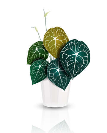 Heart shape leaves, Anthurium clarinervium plant in white ceramic pot. Tropical houseplant. Realistic vector illustrator on white background.
