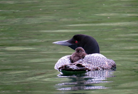 Common Loon with baby on its back in Nevis, Minnesota Banco de Imagens