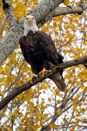 Bald eagle looking at camera from golden Birch tree in Autumn