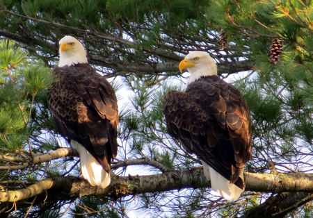 Pair of Bald Eagles in pine tree near their nest.