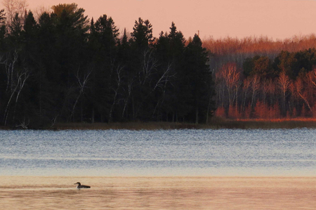 Common Loon  with beautifully layered colors of a Minnesota lake at sunrise