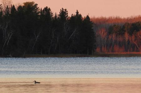 Gemeenschappelijke Duiker met prachtig gelaagde kleuren van een meer van Minnesota bij zonsopgang