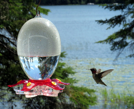 Hummingbird flying toward feeder with Minnesota lake in background