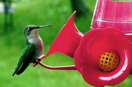 Female Ruby throat hummingbird at red feeder in Nevis, Minnesota